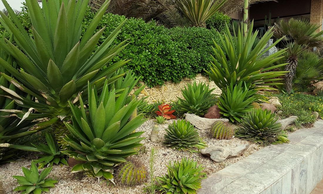 Un joli parterre de cactus et plantes grasses à Agadir, Maroc