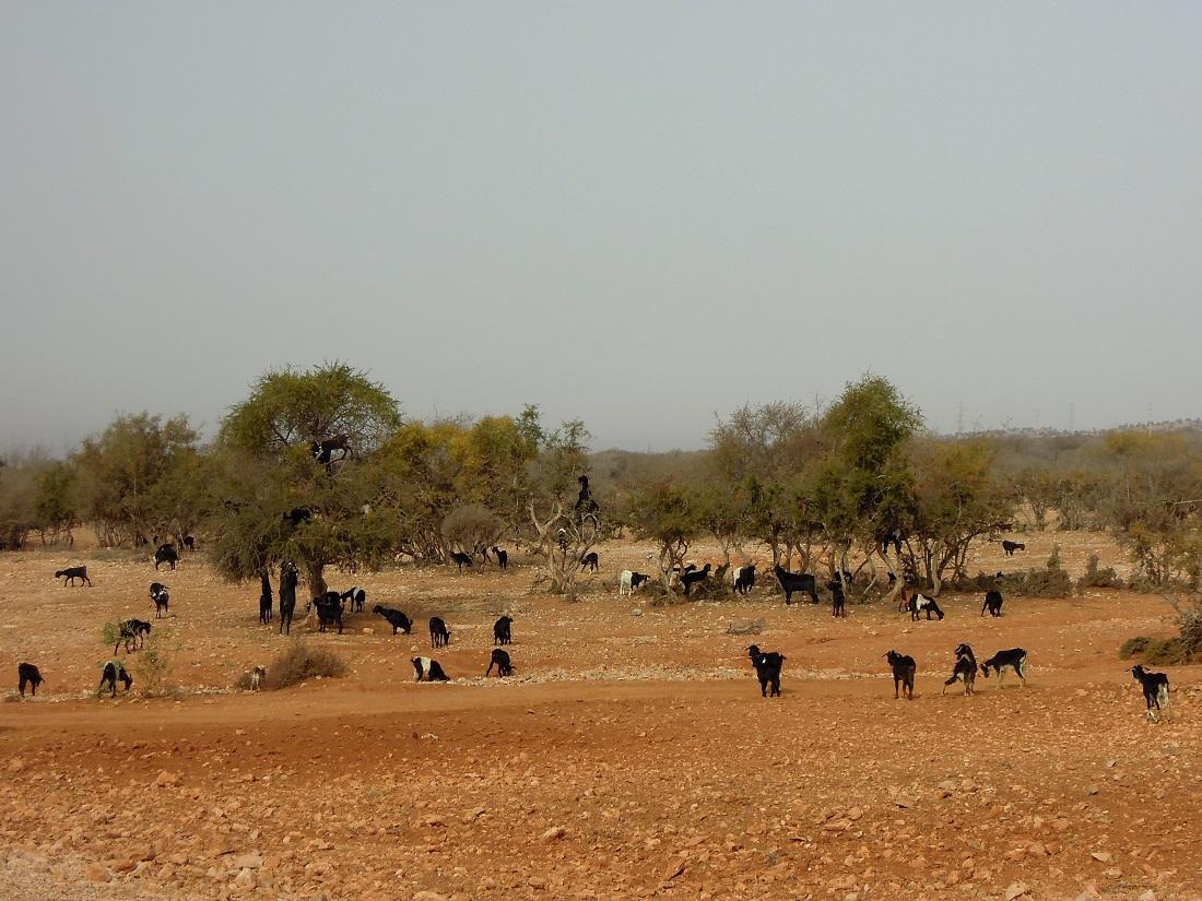 agadir-maroc-chèvres-arganier
